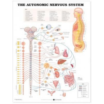 Autonomic Nervous System Anatomical Chart
