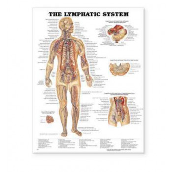 Lymphatic System : FLEXIBLE LAMINATION WALL CHART 8937PL1.5