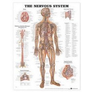 Nervous System Anatomical Chart : UNMOUNTED